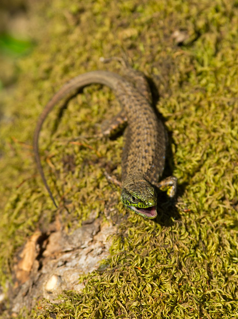 Balkan wall lizard Podarcis tauricus mouth open