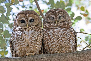 Mexican Spotted Owls living on Laboratory property