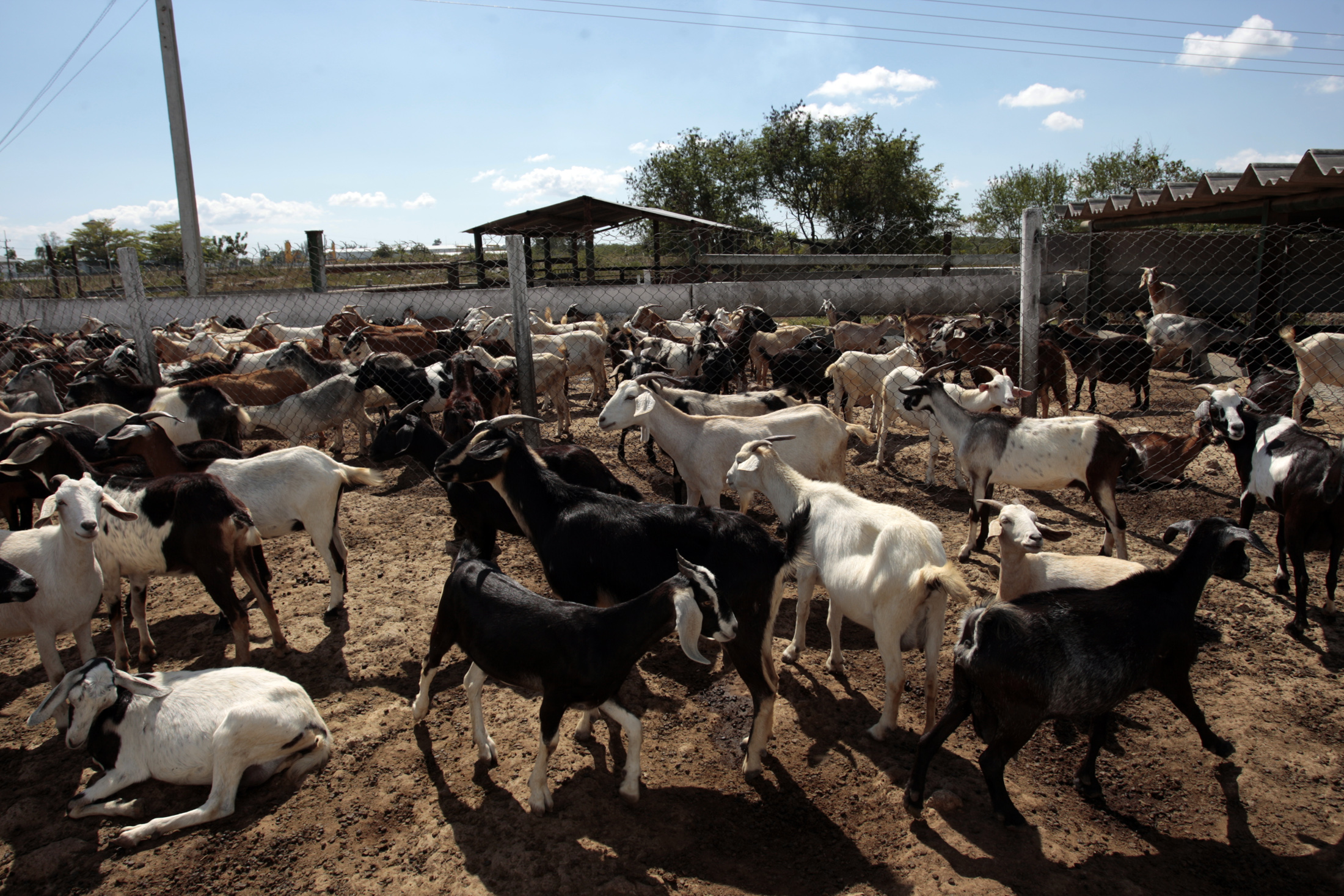 Goat farming business plan