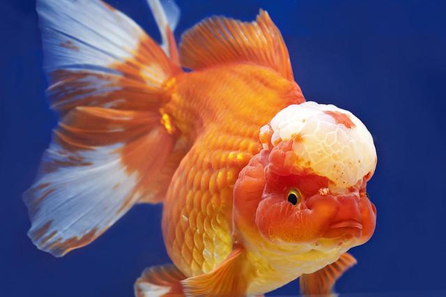 Oranda lion head goldfish flickr photo sharing for Pesce oranda
