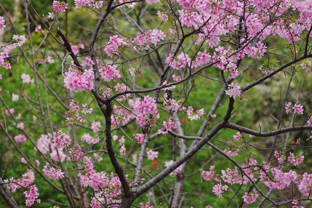 永康公園附近櫻花隨拍