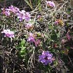 Garden Inventory: Lantana - 4
