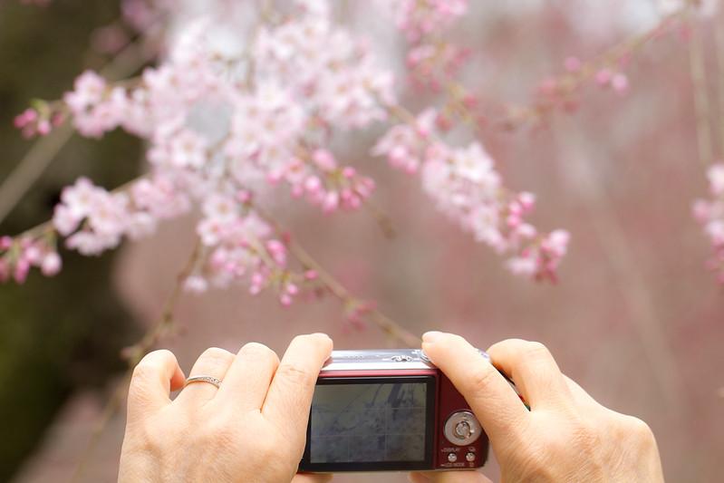 Sakura in Kyoto 36