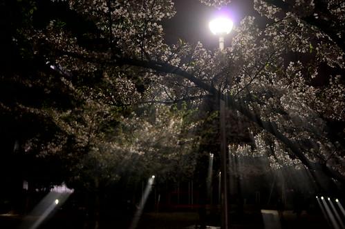 ray sakura