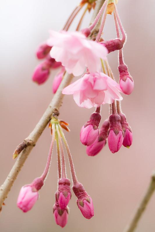 Sakura in Kyoto 7