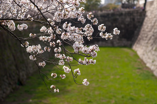 Sakura at Osaka Castle