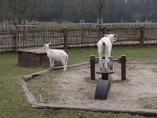 Geitenboerderij Ridammerhoeve 의 이미지. amsterdam nederland lente noordholland maart 2013