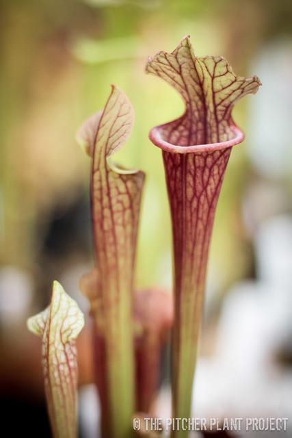 "Sarracenia (leucophylla x oreophila - Oudean Clone) x (leucophylla ""Purple Lips"" x flava var. ornata)"