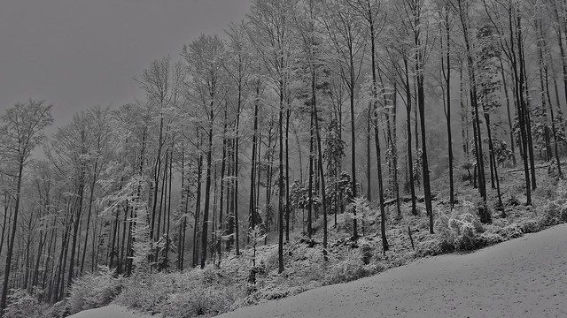 Forrest with snow and fog