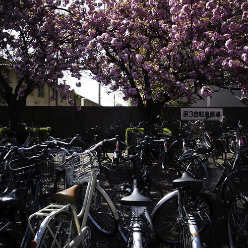 Late Blooming Cherry Blossom with Bicycles