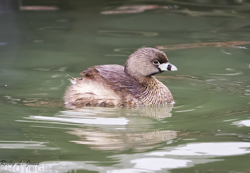 Pied-Billed Grebe by Ricky L. Jones Photography