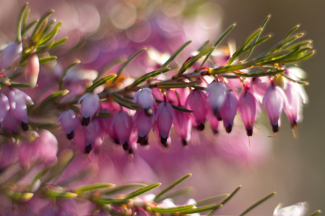 Heather Bokeh