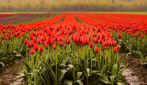 park travel red summer sky white plant canada flower holland color green nature floral beautiful beauty field yellow rural garden season landscape countryside leaf spring flora colorful pattern view natural blossom outdoor many britishcolumbia farm vibrant background seasonal group nobody row valentine fresh tulip bunch bloom bud agriculture tulipfestival blooming agassiz agassiztulipfestival