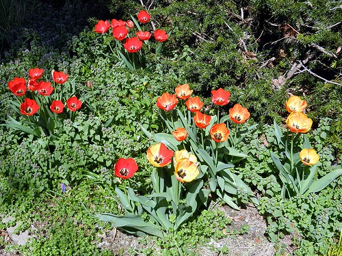 An example of Hybridization among the Tulips.