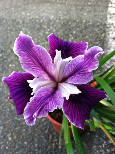 Iris x Pacific Coast Hybrid Violet Purple