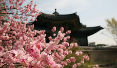 Korea_Palace_Spring_Flowers_08