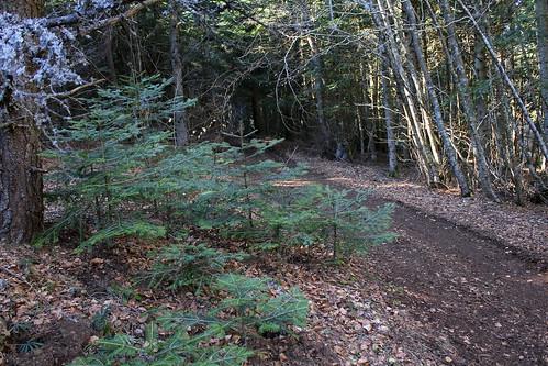 Hêtraie sapinière des Monts Breysse- 43 (15)