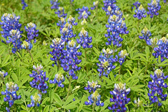 Some Texas Bluebonnets
