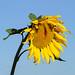 OK's Pics hat ein Foto gepostet:Sonnenblume am Strassenrand