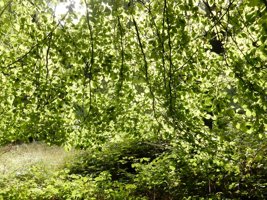 Light through leaves Henley Circular via Stonor