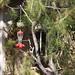 Garden Inventory: Black Pine (Pinus nigra) - 2