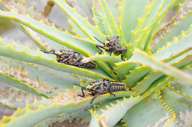 crazy grasshoppers