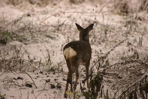 Roe Deer 4