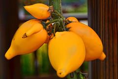 Solanum Mammosian