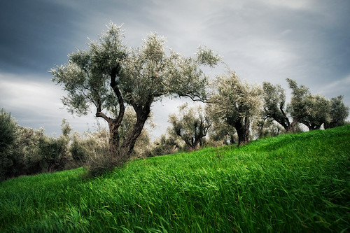 trees tree landscape wind crete olivetree olivetrees