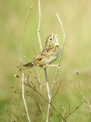 Henslow's Sparrow, Imperial Grasslands, PA