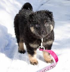 lapponian herder(0.0), german spitz klein(0.0), eurasier(0.0), german spitz(0.0), keeshond(0.0), norwegian elkhound(0.0), greenland dog(0.0), german spitz mittel(0.0), schipperke(0.0), dog breed(1.0), animal(1.0), puppy(1.0), dog(1.0), finnish lapphund(1.0), pet(1.0), carnivoran(1.0),