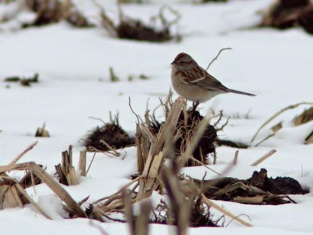 American Tree Sparrow 4-20130228