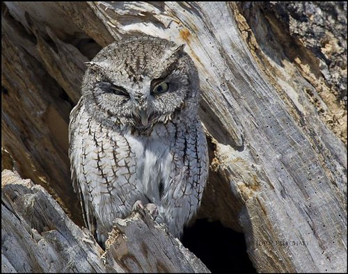 Eastern Screech Owl - (Megascops asio) - Winnipeg, Manitoba