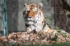 Sibirian Tiger NUREJEV