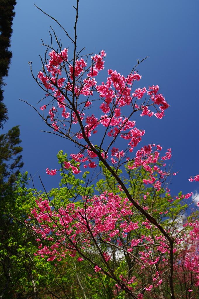 武陵農場--抓住櫻花的尾巴(圖多,46P)