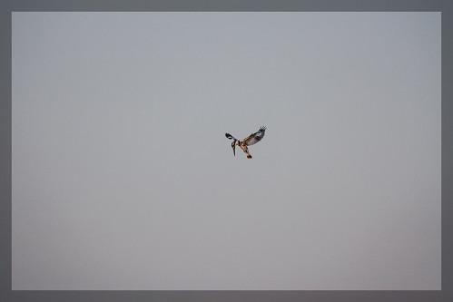 lake kingfisher pied hovering hover talav kalamba