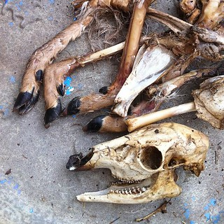Deer Remains I Got Oddly Enough, In The Mail
