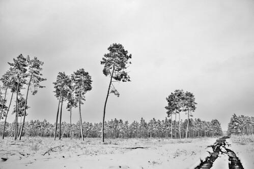 Neige sur la forêt de pins, Landes
