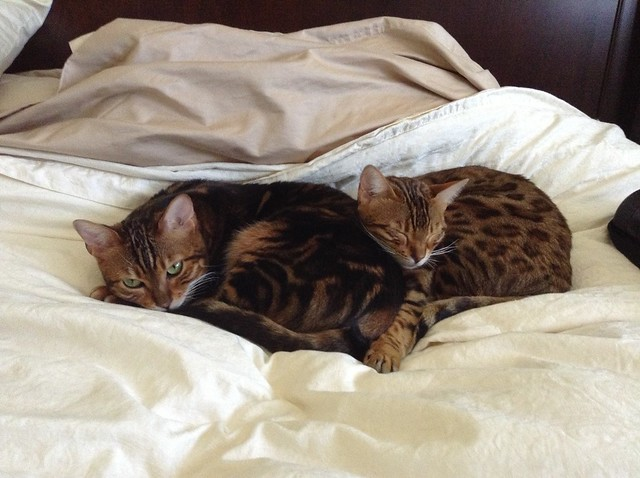 Koa and Peaches, Bengal Cats!