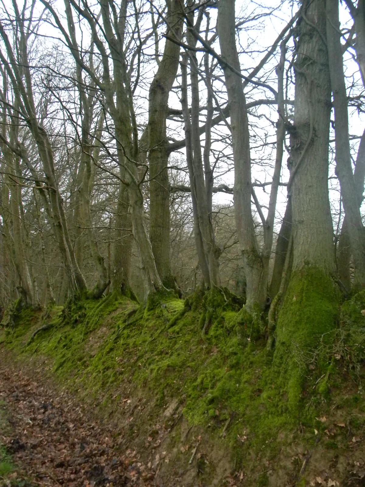 Old hedgeline Stonegate to Robertsbridge