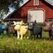 The Litago Cows
