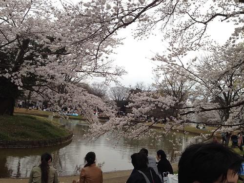 代々木公園の桜。