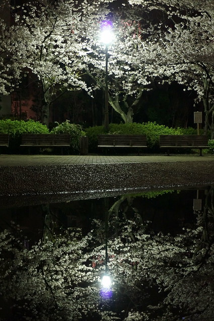 Sakura midnight reflection