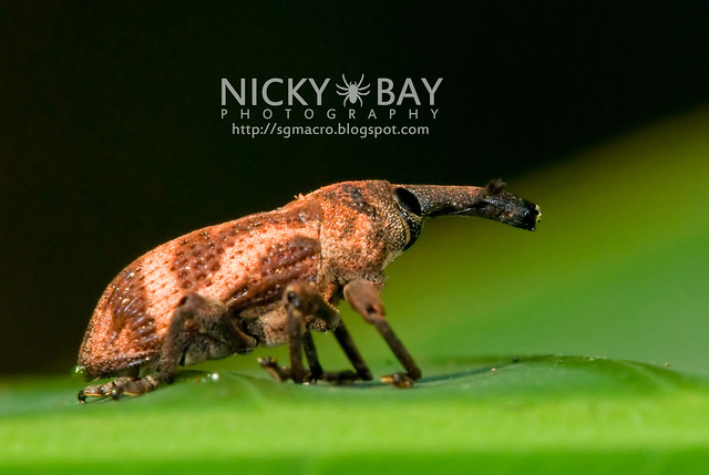 Weevil (Curculionidae) - DSC_7418