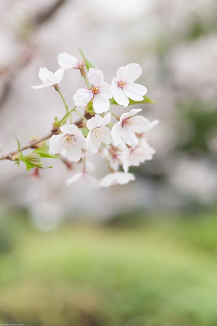 Sakura Closeup - 染井