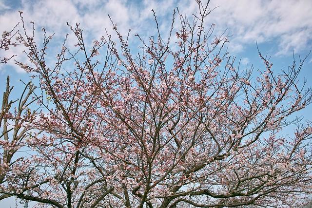 津寺休憩所の桜