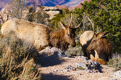 Wandering Elk