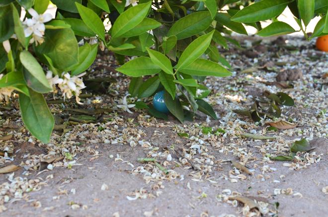 egg hunting in an orange grove