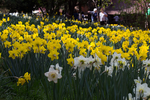 Daffodil Hill-12