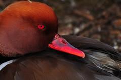 Redhead Duck (Alan Vernon) ??
